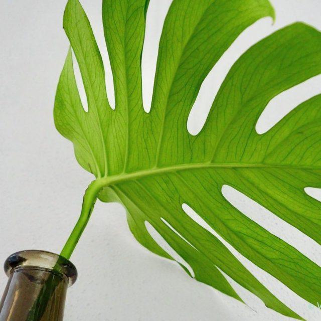 Stylen met Monstera bladeren De groentrend van nu! Laat jehellip