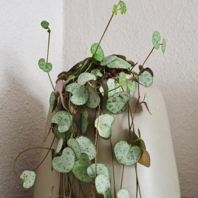 Dit Chinees lantarenplantje heb ik al bijna 3 jaar Hethellip